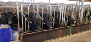 Lihaveiste heaolu tagamine intensiivses loomapidamissüsteemis.